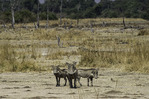 Wary warthogs in South Luangwa National Park, Zambia, Africa