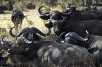 Cape Buffalo rest in the shade in South Luangwa National Park, Zambia