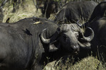 Oxpecker bird on a Cape Buffalo, in South Luangwa National Park, Zambia