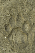 Lion track in South Luangwa National Park, Zambia