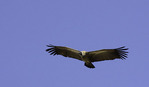 White-backed vulture, South Luangwa National Park, Zambia, Africa