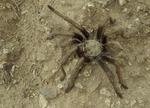 Tarantula roams the open desert near Stanton, Arizona
