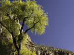 Cottonwood tree and saguaros in autumn, Aravaipa Canyon, Arizona