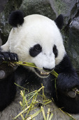 A Giant Panda feeds on bamboo at the San Diego Zoo, San Diego, California