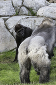 A silverback western lowland gorilla roams at the San Diego Zoo, California