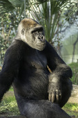 A western lowland gorilla at the San Diego Zoo, California