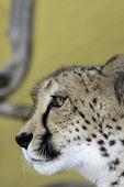 South African cheetah at the San Diego Zoo, San Diego, California