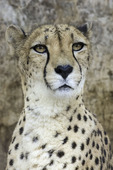South African cheetah at the San Diego Zoo, San Diego, California