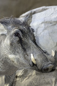 A wary warthog at the San Diego Zoo, San Diego, California