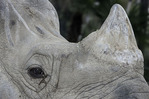 'Soman' the Great One-Horned Rhino, seen via the Backstage Pass at the San Diego Zoo, San Diego, California