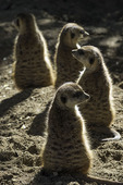 Southwest African meerkats at the San Diego Zoo Safari Park, Escondido, California