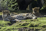 African cheetahs slumber in the winter sunshine, seen from the African Tram at the San Diego Zoo Safari Park, Escondido, California