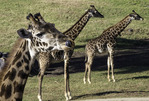 Giraffes are viewed from the African Tram at the San Diego Zoo Safari Park, Escondido, California