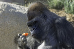 'Winston', a silverback Western lowland gorilla, munches on a tomato at the San Diego Zoo Safari Park, Escondido, California