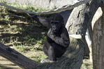 'Monroe' a Western lowland gorilla born in 2011, plays at the San Diego Zoo Safari Park, Escondido, California