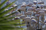 Chilean flamingos at the San Diego Zoo Safari Park, Escondido, California