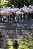 Chilean flamingos feed at the San Diego Zoo Safari Park, Escondido, California
