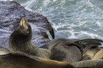 California sea lions warm themselves on the sandstone ledges of La Jolla Cove, La Jolla, California