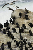 Cormorants preen themselves on the sandstone ledges of La Jolla Cove, La Jolla, California