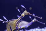 A weedy sea dragon makes eye contact at the Birch Aquarium, La Jolla, California