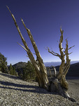 An ancient bristlecone pine survives at 11,000' feet in the White Mountains of eastern California