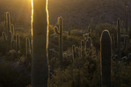 A setting sun backlights the saguaros and Sonoran Desert landscape of Organ Pipe Cactus National Monument, Arizona