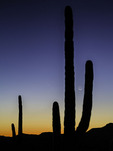 Comet Panstarrs and a new crescent moon adorn a twilight sky over saguaros and the Sonoran Desert landscape of Organ Pipe Cactus National Monument, Arizona
