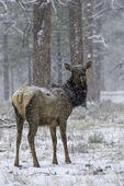 A Grand Canyon elk watched warily during a spring snow on the South Rim of Grand Canyon National Park, Arizona