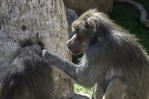 Baboons groom each other at the Phoenix Zoo, Phoenix, Arizona