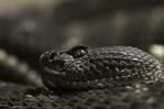 Arizona Black rattlesnake at the Phoenix Zoo, Phoenix, Arizona