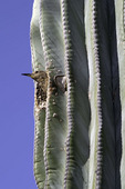 Gila woodpecker making a home in a saguaro at the Desert Botanical Garden, Phoenix, Arizona