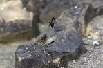 Gambel's quail, at the Desert Botanical Garden, Phoenix, Arizona