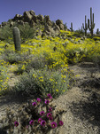 Strawberry hedgehog cactus and brittlebrush blooming in spring, Scottsdale, Arizona