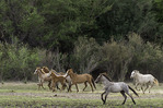 Wild horses run beside the Salt River, northeast of Phoenix, Arizona