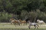 Wild horses run beside the Salt River, northeast of Phoenix, Arizona