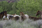 Wild horses rest near the Salt River, northeast of Phoenix, Arizona