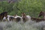 Wild horses rest near the Salt River, northeast of Phoenix, Arizona