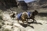 Pack horses on the trail to Hualapai Hilltop, Havasupai Reservation, Grand Canyon, Arizona