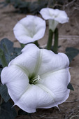 Sacred datura blooming after monsoon rains in North Canyon, Marble Canyon, Arizona