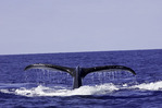A humpback whale dives in the blue waters off the Kona Coast, Big Island, Hawaii.