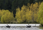 Black swans flap their wings on a pond fringed by autumn color, near Twizel, South Island, New Zealand