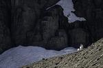 Rocky Mountain goat below Mt. Clements, Logan Pass, Glacier National Park, Montana