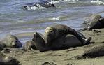 Elephant seals at Piedras Blancas, Pacific Coast, California