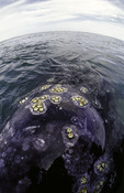 A barnacled gray whale just below the surface in Scammon's Lagoon, Baja California Sur, Mexico