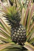 Organic pineapple, grown at Las Alamandas Resort, Costa Allegres, Mexico