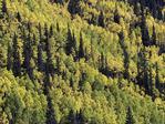 Aspens mingle with pines, Red Mountain Pass, San Juan Mountains, Colorado