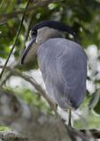 Boat-billed heron, Rio Frio, Cano Negro Wildlife Refuge, Costa Rica