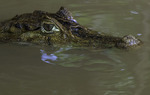 Caiman in the water, Rio Frio, Cano Negro Wildlife Refuge, Costa Rica
