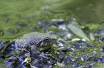 A canyon tree frog rests on Aravaipa Creek, running through Aravaipa Canyon Wilderness, Arizona