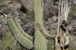 Saguaro skeleton in early summer, Tortilita Mountains, Marana, Arizona